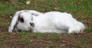 Nina, lapine bélier, née en aout 2011 - Page 9 Mini_237976juillet20152