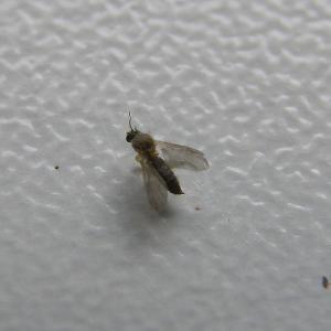 Besoins d'aide pour des mouches de terreau et moisissures Mini_254314P8230031
