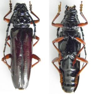[Sphallenum tuberosum] Cerambycidae de Guyane Mini_275965Guyane4538mm