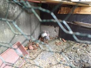 Espace accouplement pigeon Mini_278704IMG2355