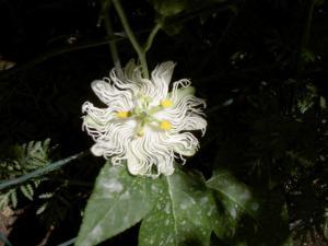 Flowering of Passifloras Mini_318065PICT6035