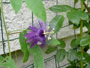 Flowering of Passifloras Mini_318210PICT6076