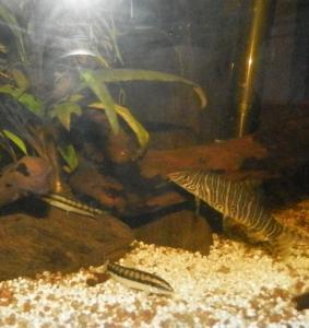 Ménagerie, plus de 3.000L d'aquariums - Page 2 Mini_366757BotiaStriata0003