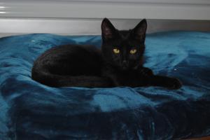 Néji, chaton noir, né le 30/05/17 Mini_402636DSC0001