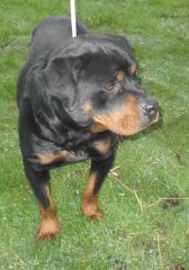 Rotti - 4 ans - asso Rottweiler Adoption Mini_42426514627