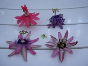 Flowering of Passifloras Mini_435453PICT6423