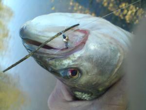 les autres poissons a la mouche  Mini_443973DSC00438