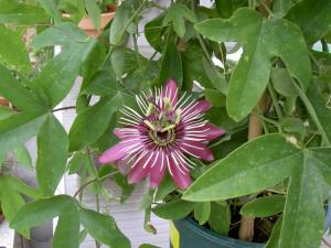 Flowering of Passifloras Mini_452612PICT6082