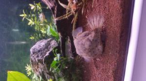 gonflement tetraodon baileyi Mini_48567420141020163518