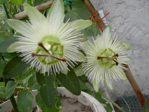 Flowering of Passifloras Mini_501757PICT6068
