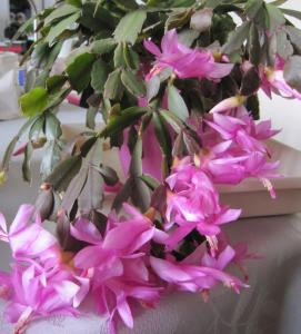 Schlumbergera, ou cactus de noel  - Page 3 Mini_538261IMG0198