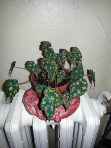 begonia bowerii tiger  - Page 2 Mini_58449820150119150021