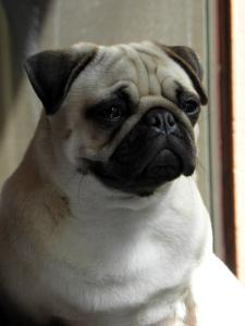 J'aime les Pugs Mini_609141pugly03