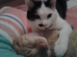 Jokari, mâle type européen noir et blanc, né le 01/02/2014 Mini_65431420141215221827