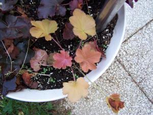 NOS PLANTES CHERIES :  Les heuchères  Mini_6925741008761