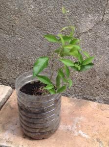 Grimpante à identifier [Dolichandra unguis-cati] Mini_757021image