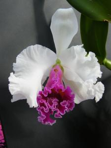 CATTLEYA Beauty Girl cukova Mini_792522Sept2011062