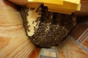 Fabrication d'une ruche ! Mini_859628essaimle210812