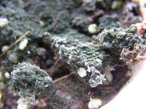 Besoins d'aide pour des mouches de terreau et moisissures Mini_980353P8220025