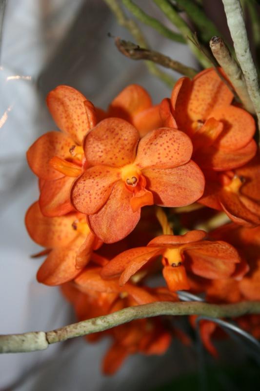 ascocenda orange spoti de mamie 111899IMG8710