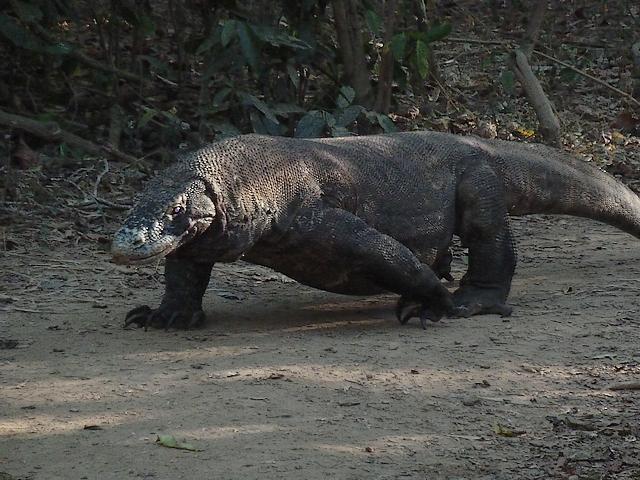 Varanus komodoensis ou le dragon de Komodo. 115668P1000020red640