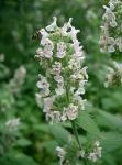 Partie Guérisseur : Les plantes de la Forêt 116093cataire