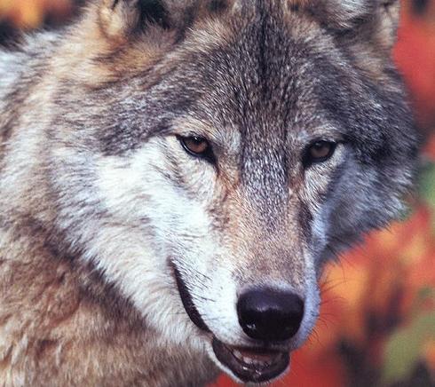 Tubes loups de ma creation 117459YYMelgibson16