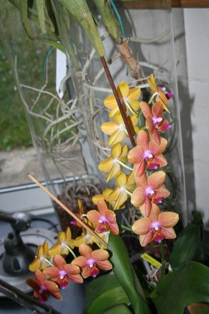 phalaenopsis cuivre bouddha 120580IMG9914