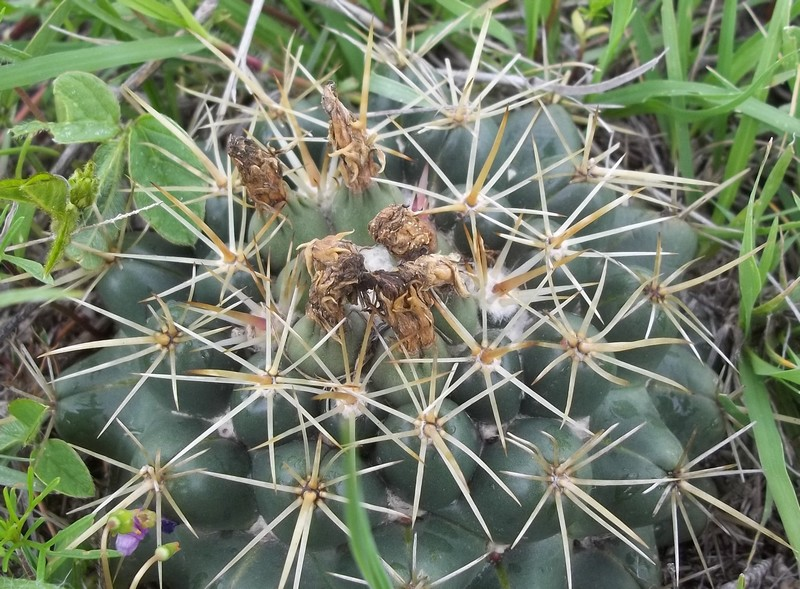 Coryphantha growing 1km from my house 1222021002736