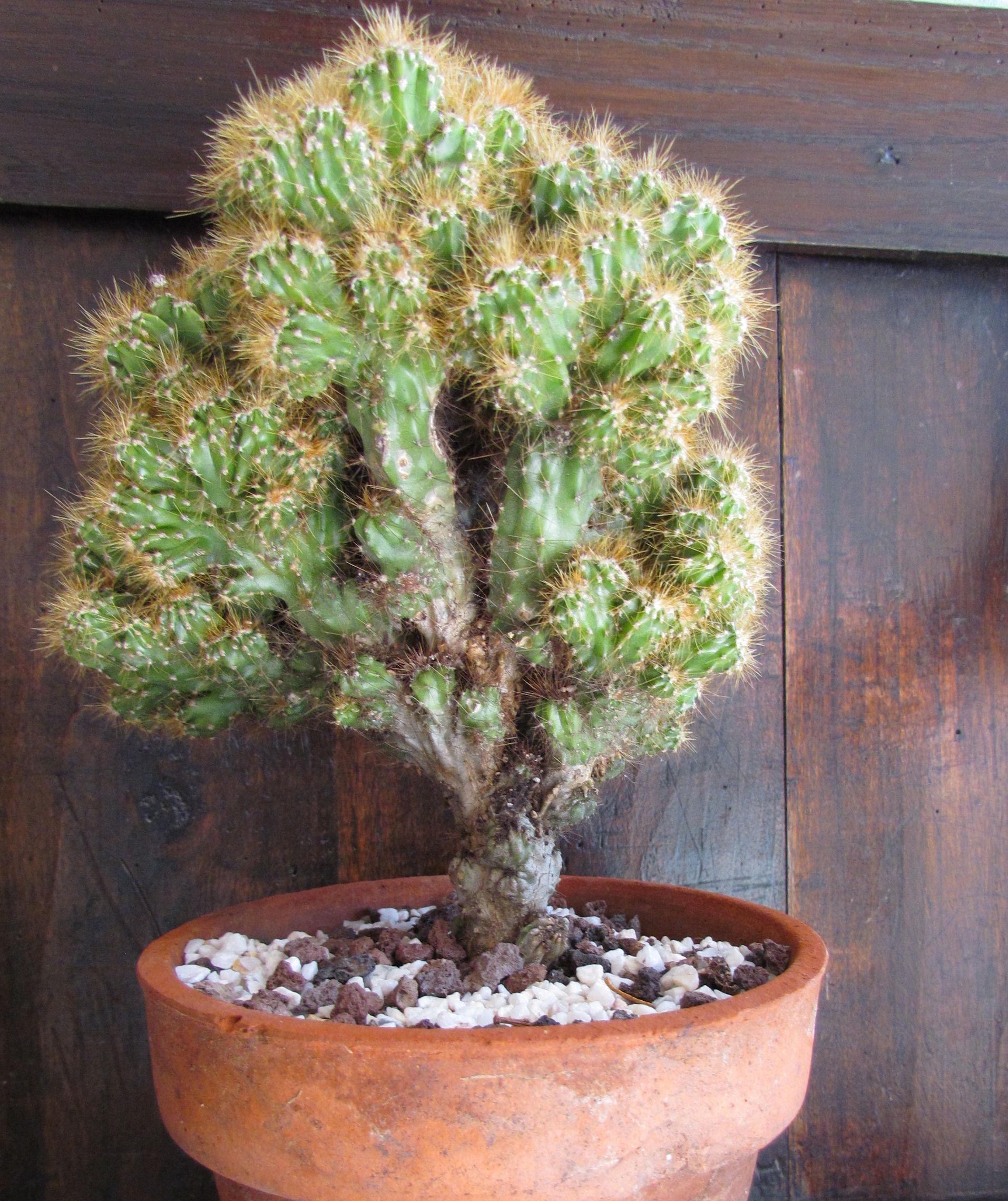 Cereus peruvianus monstruosus 137853IMG9623
