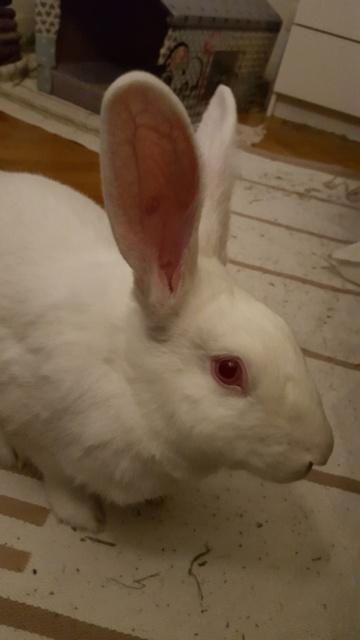 [ADOPTEE] Acacia, lapine de laboratoire à adopter 13973920160112234952