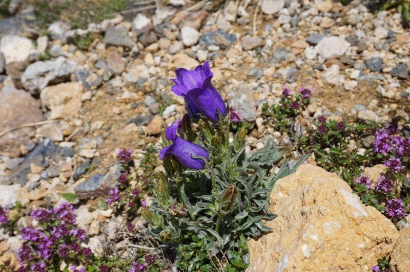 pas de carni mais de jolies plantes alpines ! 142132DSC03405