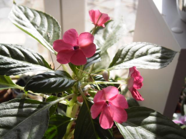 Floraison bouture Impatiens rose 144654impatiens3