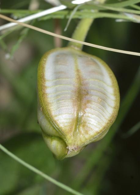 Tulipa - espèces et petits hybrides (sections 12 à 15) - Page 6 147640tulipa