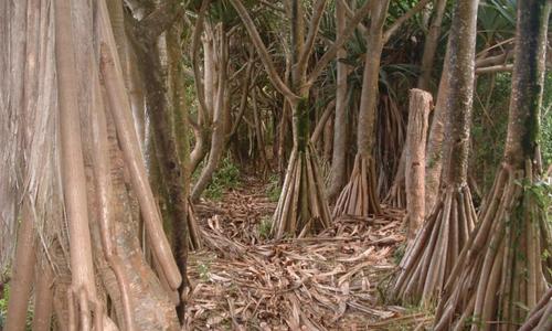 Forêt de Vacoas