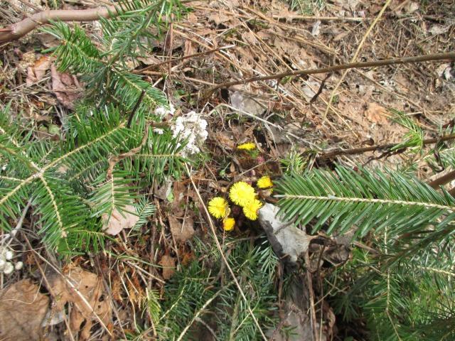 petite flore du Québec 150492IMG0353