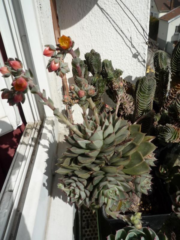 les Echeverias au bord des fenêtres... 155128fabiola29