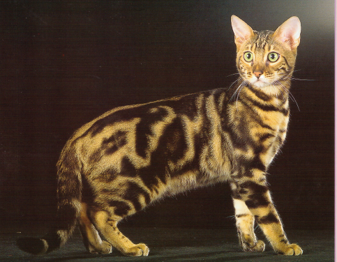 Abscence de quelques semaines 155740brownmarbledbengal