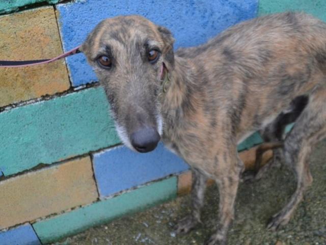 Olivio , Galgo Barbudo de 3 ans , en refuge 155937dsc0810