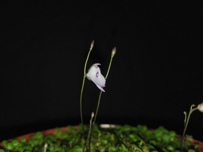Utricularia pubescens 162137IMG20160407114327