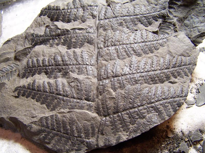 Oligocarpia Goeppert , 1841. 162759Copiade1002486