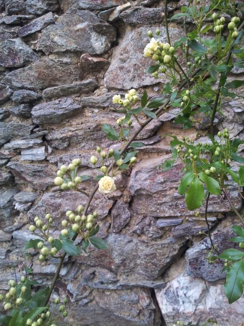 Feuillage des rosiers (caduc, persistant ou semi-persistant) 16809720160501185919