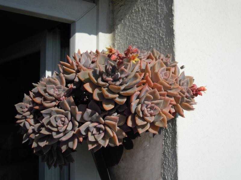 fraicheur et rayon de soleil sur les rebords de fenêtres... 168150graptoveriaacaulis09