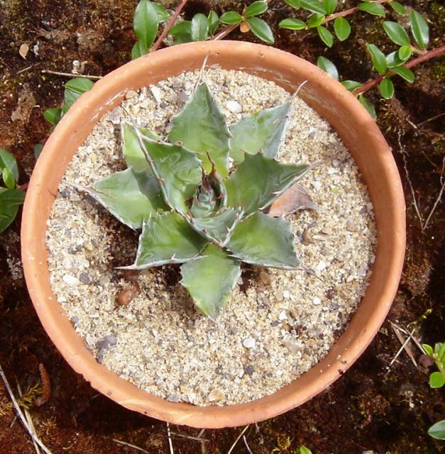 Agave montana  169915Agavemontana
