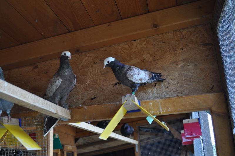 Pigeons de vol catalans à tête de moine 174099DSC0018