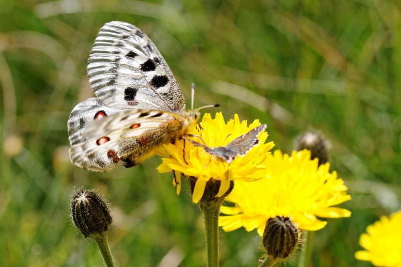 Flore et insectes de Vanoise 175357LelacBlanc032DxO800x600