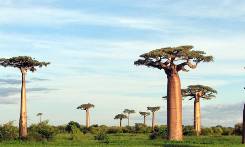 Plaine des Baobabs