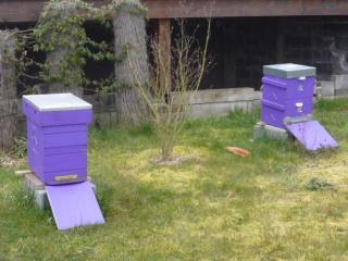 Les auxiliaires du jardinier : l'abeille noire (Apis mellifera mellifera) 179177P1020505