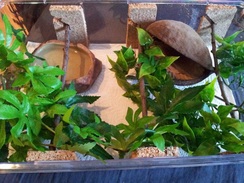 Morelia spilota variegata Irian Jaya [ Mon Wajah ] 18189120120908120534