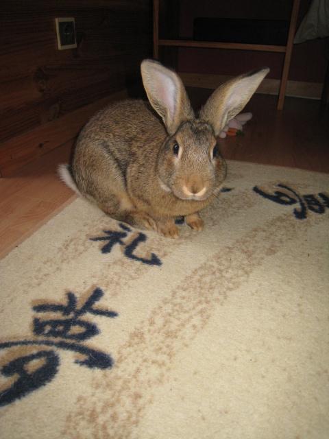 Huggy, - jeune lapin garenne de grande taille [Ani-nounou] 184613huggy4